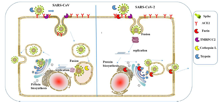Interaction of S glycoprotein of SARS-CoV and SARS CoV-2 with human cell surface proteins. Note that SARS-CoV-2 has cleavage site for Furin protease